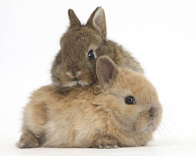 House Pet Photograph - Cute Baby Netherland Dwarf Rabbits by Mark Taylor