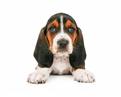 Cute Basset Hound Puppy Looking Forward Print by Susan Schmitz