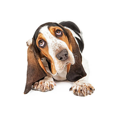 Cute Basset Puppy Tilting Heard Print by Susan Schmitz