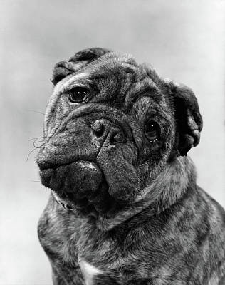 Brindle Photograph - Cute Bulldog Face Looking At Camera by Vintage Images