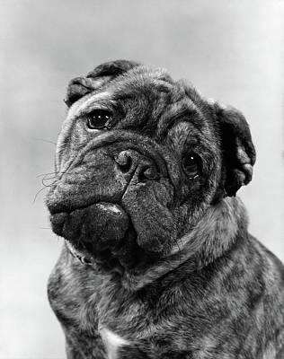 Brindle Photograph - Cute Bulldog Face Looking At Camera by Vintage Images