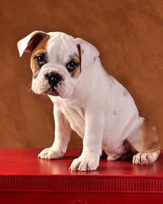 Photograph - Cute Bulldog Puppy by Rebecca Brittain