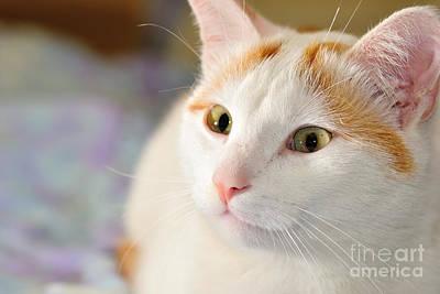Photograph - Turkish Van Cat Portrait by Martin Capek