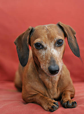 Photograph - Cute Dachshund  by Amber Summerow