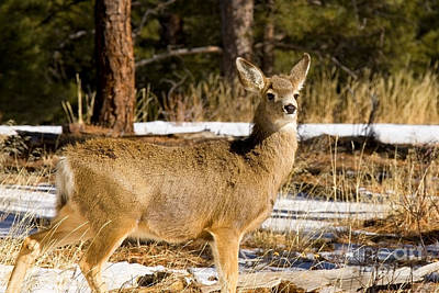 Steven Krull Royalty-Free and Rights-Managed Images - Cute Doe by Steven Krull