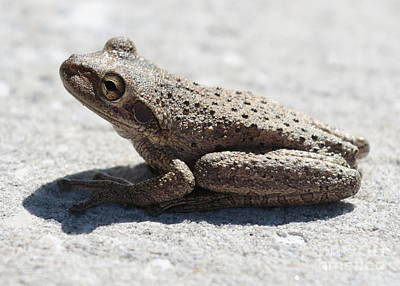 Photograph - Cute Frog by Carol Groenen