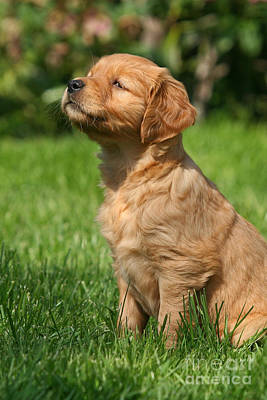 Photograph - Cute Golden Retriever Puppy by Dog Photos