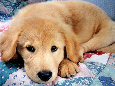 Photograph - Cute Golden Retriever Puppy by Christina Rollo