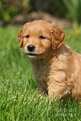Photograph - Cute Golden Retriever Puppy Sitting In Grass by Dog Photos
