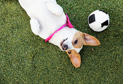 Photograph - Cute Jack Russell-dachshund Mix With A by Amandafoundation.org