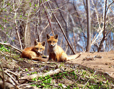Cute Kit Foxes Together 1 Print by Thomas Young