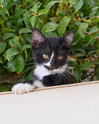 Beverly Brown Fashion Rights Managed Images - Cute Kitty Royalty-Free Image by John Chatterley