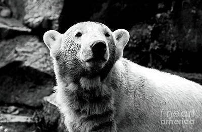 Photograph - Cute Knut by John Rizzuto