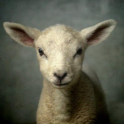 Cute New Born Lamb Art Print by Bob Van Den Berg Photography