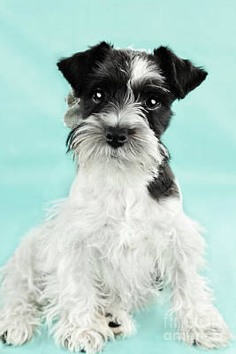 Cute Parti Color Miniature Schnauzer Art Print by Stephanie Frey
