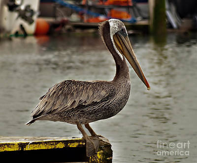 Photograph - Cute Pelican by Robert Bales