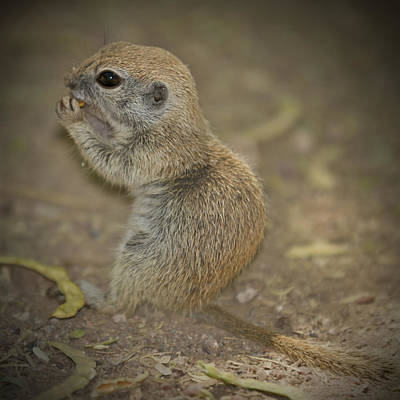 Scottsdale Photograph - Cute Prairie Dog by Melanie Viola