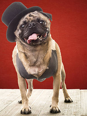 Vest Photograph - Cute Pug Dog In Vest And Top Hat by Edward Fielding