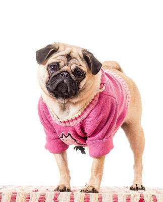 Cute Pug Wearing Sweater Art Print
