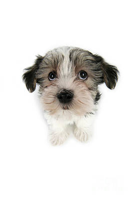 Dog Portraits From Photograph - Cute Puppy Dog by John Daniels