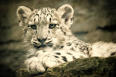Photograph - Cute Snow Cub by Chris Boulton