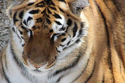 Kim Baker Photograph - Cute Tiger Face by Kim Baker