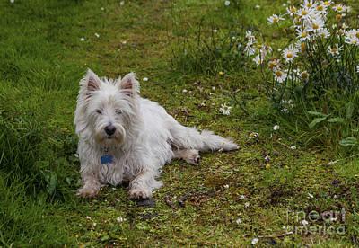 Photograph - Cute Westie by Diane Macdonald