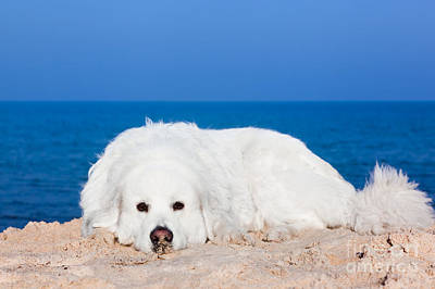 Joy Photograph - Cute White Dog On The Beach by Michal Bednarek