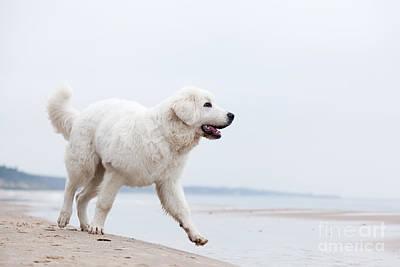 Cute White Dog Walking On The Beach Art Print