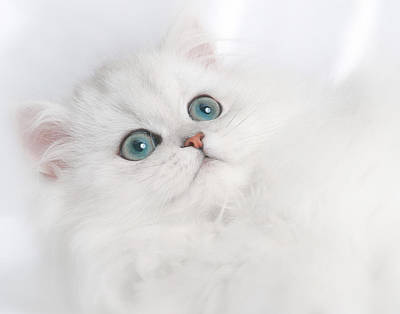 Photograph - Cute White Persian Kitten by David and Carol Kelly