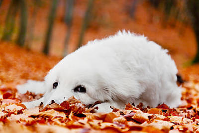 Wallpaper Photograph - Cute White Puppy Dog Lying In Leaves In Autumn Forest by Michal Bednarek