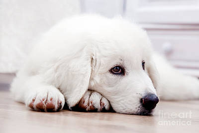 Puppy Photograph - Cute White Puppy Dog Lying On Wooden Floor by Michal Bednarek
