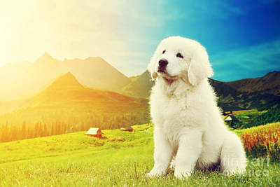Shepherd Photograph - Cute White Puppy Dog Sitting In Mountains by Michal Bednarek