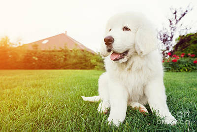 Companion Photograph - Cute White Puppy Dog Sitting On Grass by Michal Bednarek