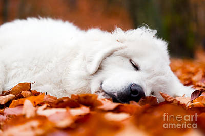 Sleeping Puppy Photograph - Cute White Puppy Dog Sleeping In Leaves In Autumn Forest by Michal Bednarek