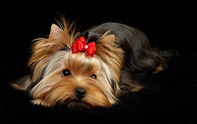 Cute Yorkie Original by Konstantin Gushcha