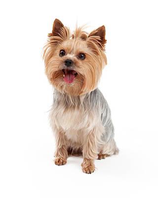 Toy Terrier Photograph - Cute Yorkshire Terrier Dog Sitting by Susan Schmitz