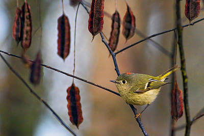 Ruby-crowned Kinglet Birds Photograph - Cuteness by Gary Holmes
