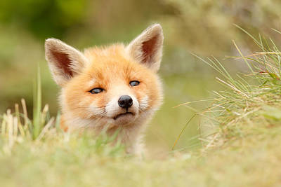 Cute. Sweet Photograph - Cutie Face _red Fox Kit by Roeselien Raimond