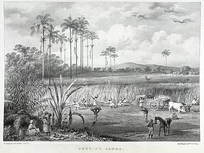 Slaves Photograph - Cutting Canes by British Library