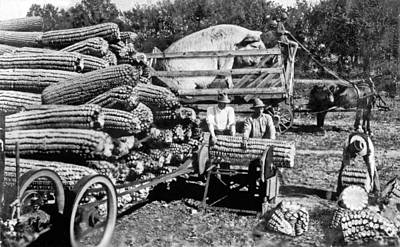 Iowa Farm Photograph - Cutting Giant Ears Of Corn by Underwood Archives