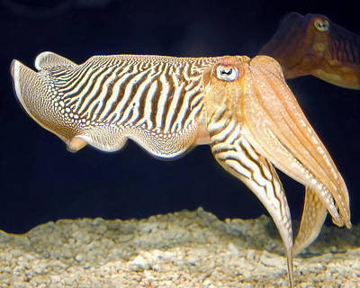 Photograph - Cuttlefish 1 by Dawn Eshelman