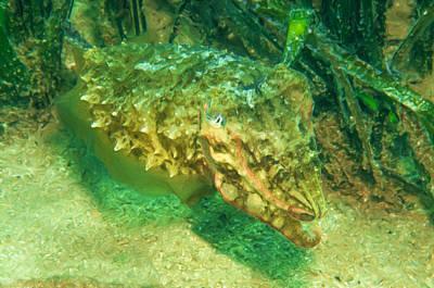 Cuttlefish Digital Art - Cuttlefish 2 by Roy Pedersen