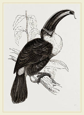 Toucan Drawing - Cuviers Toucan by Litz Collection