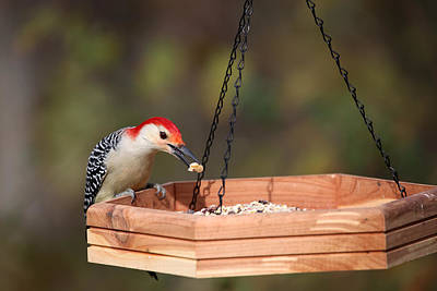 Red Bellied Woodpecker Photograph - Cw Feeding by Karol Livote