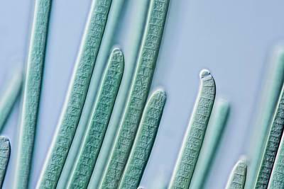 Cyanobacteria Filaments Art Print by Gerd Guenther