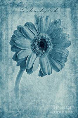 Gerbera Photograph - Cyanotype Gerbera Hybrida With Textures by John Edwards