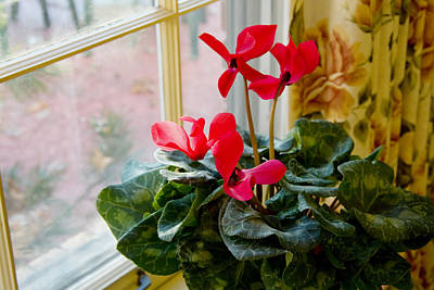 Photograph - Cyclamen And Window by Melinda Fawver