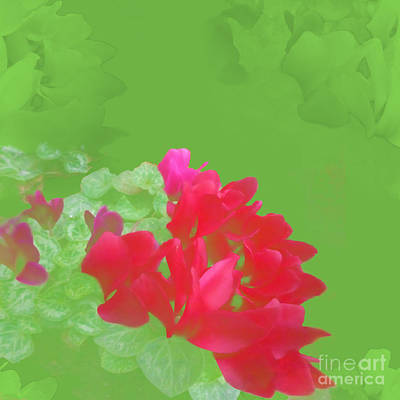 Photograph - Cyclamen Dream by Barbara Moignard