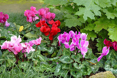 Photograph - Cyclamen Flowers by Brenda Kean